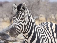 Portrait of plain zebra in Africa, Namibia, Etosha National Park — Stock Photo