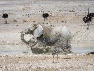 Elefante che scappa in acqua in Africa, Namibia, Parco Nazionale di Etosha, — Foto stock