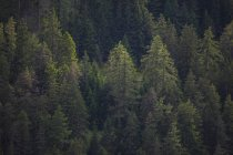 Schweiz, Graubünden, Samnaun, Nadelwald — Stockfoto