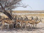 Gruppo di springboks sotto gli alberi in ombra in Africa, Namibia, Parco nazionale di Etosha — Foto stock