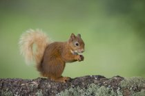 Portrait of eating Eurasian red squirrel  on tree trunk — Stock Photo