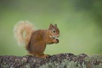 Verticale de manger l'écureuil rouge eurasien sur le tronc d'arbre — Photo de stock