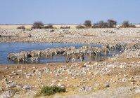 Zebre di pianura presso la pozza d'acqua in Africa, Namibia, Parco nazionale di Etosha — Foto stock