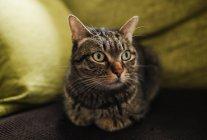 Портрет табби-кота, лежащего на диване — стоковое фото