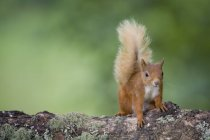 Portrait of Eurasian red squirrel  on tree trunk — Stock Photo