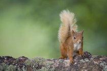Verticale d'écureuil rouge eurasien sur le tronc d'arbre — Photo de stock
