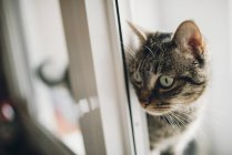 Тэбби-кот смотрит что-то — стоковое фото