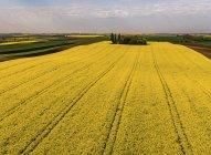 ¡Serbia! Campos agrícolas con campo de violación amarillo, vista aérea en verano - foto de stock