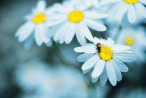 Close-up de flores de camomila — Fotografia de Stock
