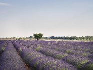 France, Provence, lavender field at daytime — Stock Photo