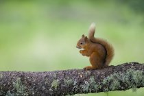 Portrait of eating Eurasian red squirrel  on tree trunk — Photo de stock