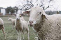 Крупный план овцы, смотрящей на камеру — стоковое фото