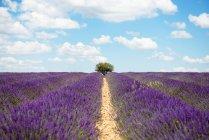 Francia, Provenza, meseta de Valensole, infinitos campos púrpuras de lavanda en flor en verano - foto de stock