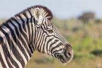 Портрет зебри бушель, Африка, Намібія, Національний парк Етоша — стокове фото