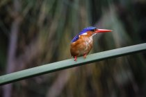 Uganda, Lake Victoria, Azure kingfisher perching on branch — Stock Photo