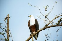 Uganda, Kigezi National Park, Bald eagle perching on branch — Foto stock
