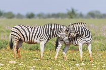 Burchell's zebras sniffing in Africa, Namibia, Etosha National Park — Stock Photo