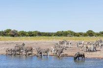 Zebre di Burchell e gnu blu, a Chudop waterhole, Africa, Namibia, Etosha National Park — Foto stock