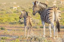 Africa, Namibia, Etosha National Park, burchell's zebras, Equus quagga burchelli, young animal and  mother animal — Stock Photo
