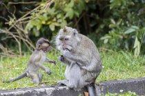Маврикій, чорний річковий Національний парк, довгохвоста макака, довгохвостий макак, мати з молодою твариною — стокове фото