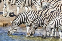 Burchell's zebras drinking water at Chudop waterhole, Africa, Namibia, Etosha National Park - foto de stock