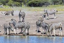 Burchell-Zebras am Chudop-Wasserloch, Afrika, Namibia, Etosha-Nationalpark — Stockfoto