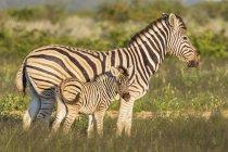 Mère et jeune animal, zèbres de Burchell en Afrique, Namibie, parc national d'Etosha — Photo de stock