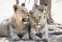 Африка, Намибия, Семья львов отдыхает в Национальном парке Этоша — стоковое фото
