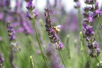 Francia, Provenza, primer plano de la abeja en una flor de lavanda en el verano - foto de stock