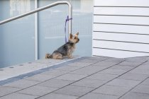 Yorkshire Terrier waiting outdoors — Stock Photo