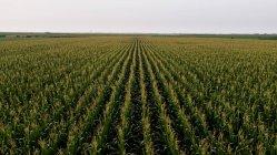 Serbie, Voïvodine, Vue aérienne du champ de maïs vert — Photo de stock