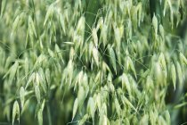 Green Oat spikes, close-up — Stock Photo