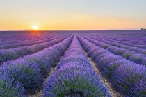 France, Alpes-de-Haute-Provence, Valensole, lavender field at twilight — Stock Photo