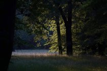 Germany, forest glade in evening light — Stock Photo