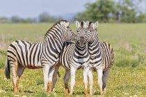 Burchell's zebras in Africa, Namibia, Etosha National Park, — Stock Photo