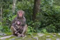 China, Fujian Province, portrait of two monkeys in Niumu forest, mother with young — Stock Photo