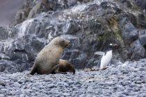 Antarctic fur seal, Arctocephalus gazella, hunting gentoo penguin, Pygoscelis papua — Stock Photo