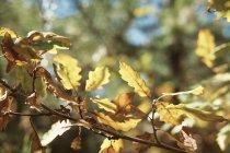 Gros plan des feuilles d'automne sur l'arbre — Photo de stock