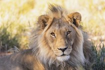 Botswana, Parque Transfronterizo Kgalagadi, Retrato del león macho, Panthera leo - foto de stock