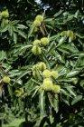 Sweet chestnuts on tree — Stock Photo