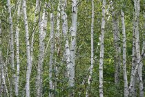 Germany, birch forest at daytime — Stock Photo