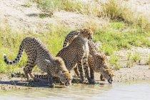 Ботсвана, Kgalagadi Transfrontier парку, гепардів, Аінонікс jubatus, питної — стокове фото