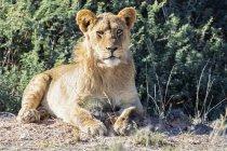 Botswana, Parco Trafrontiere Di Kgalagadi, ritratto del giovane leone — Foto stock