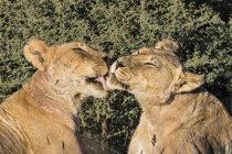 Botswana, Kgalagadi Transfrontier Park, leona de aseo - foto de stock