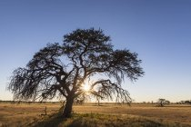 Botswana, Kgalagadi Transfrontier Park, Kalahari, camelthorn at sunrise — стоковое фото