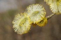 Male flowering willow, Salix caprea — Stock Photo