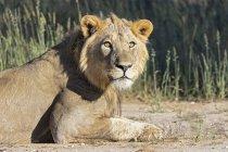 Botswana, Parco Transfrontier Kgalagadi, giovane leone maschio, Panthera leo — Foto stock