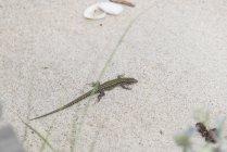 Portugal, Viana do Castelo, Bocage's wall lizard on the beach — Stock Photo