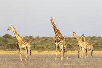 Botswana, Kalahari, Riserva centrale di caccia Kalahari, — Foto stock