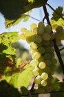 Зеленый виноград на виноградном бульоне — стоковое фото